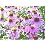 1,200 Purple Coneflower Seeds