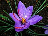 15 Saffron Crocus Bulbs--Fall Blooming, grow your own Saffron Spice!