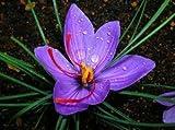40 Saffron Crocus Bulbs--fall Blooming, Grow Your Own Saffron Spice! End of Season Clearance!!