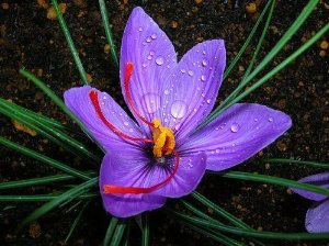 Saffron Crocus 20 Bulbs