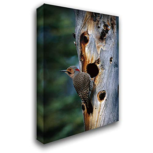 Northern Flicker Woodpecker Near nest Cavity, Slana, Alaska 28x40 Gallery Wrapped Stretched Canvas Art by Quinton, Michael (Northern Flicker Woodpecker)