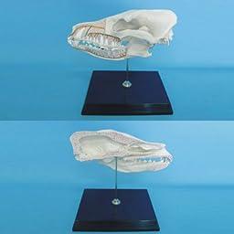 Dog Half Skull Model With Plastic Stand