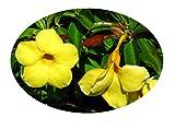 DWARF YELLOW COMPACT Allamanda Vine Plant