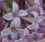 Syringa josikaea or Hungarian Lilac 10 seeds