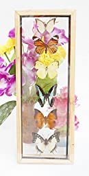 6 REAL mixed BUTTERFLIES Taxidermy Double Glass in Frame