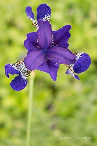Indigo Iris Photo Unframed Royal Purple Blue Flower Portrait Floral Photography Spring Green Wall Art Botanical Photographic Print Minimalist Home Decor 5x7 8x10 8x12 11x14 12x18 16x20 16x24 - Picture Colour Indigo