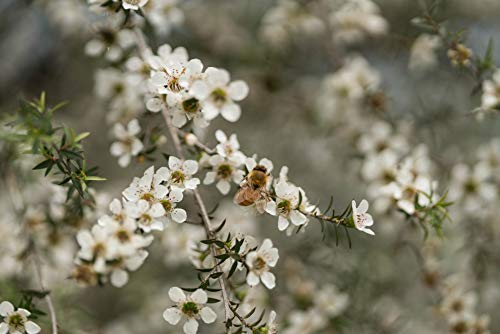 Comvita Certified UMF 15+ (MGO 515+) Manuka Honey I New Zealand's #1 Manuka Brand I Raw, Non-GMO, Halal, Kosher | Super Premium Grade (8.8 oz)