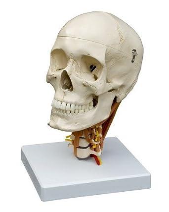 Ruediger Anatomie A264 Schädel auf Halswirbelsäule Modell mit ...