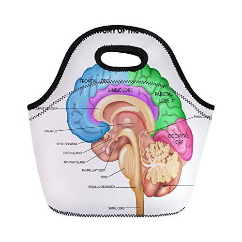 - Semtomn Lunch Bags Parts Human Brain Lobes Beautiful Colorful Detailed Anatomy Sagittal Neoprene Lunch Bag Lunchbox Tote Bag Portable Picnic Bag Cooler Bag