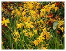 Crocosmia 'George Davison' a gorgeous and colorful, tall clump-forming perennial with erect, sword-shaped leaves and branched stems ,light orange-yellow flowers, excellent for cut flowers, 1 gallon