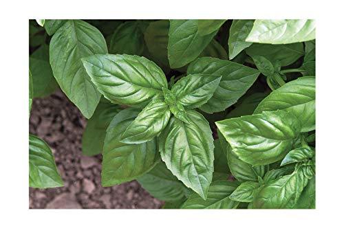 David's Garden Seeds Herb Basil Genovese SL8911 (Green) 500 Non-GMO, Organic Seeds ()