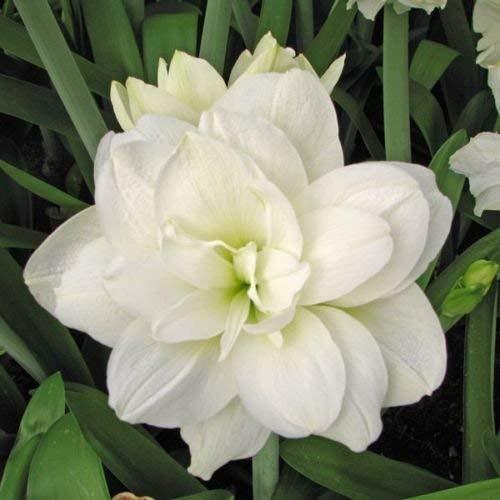 Amaryllis Bulb Flower 1 Double - White Amaryllis Bulbs - 1 Bulb - Perennials Garden Beautiful Flowers Holiday Gift Potted