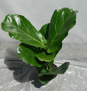 Jmbamboo - Ficus Lyrata Plant in 6 Inch Pot - Also Called Fiddle Leaf Fig or (Fig Tree Leaf)