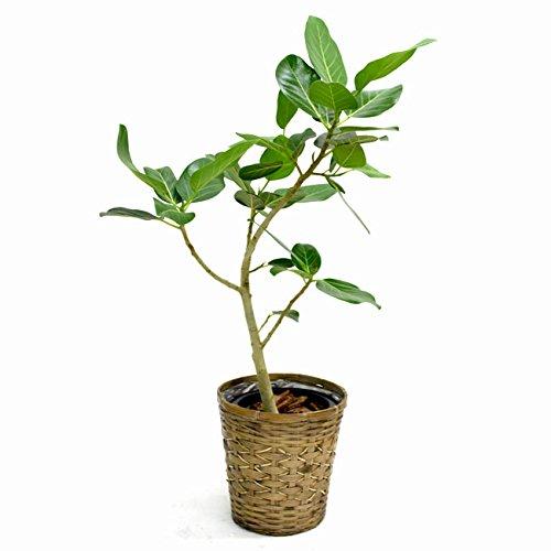 【装飾バークプレゼント】葉脈が美しいゴムの木 フィカス ベンガレンシス 中型8号 鉢カバーD付き B01IQQLLMA