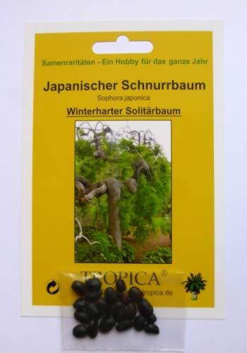 Japanischer Schnurrbaum Sophora japonica - 20 Samen TROPICA Blumen ...