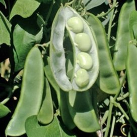 King of The Garden Lima Bean Seeds, 25+ Premium Heirloom Seeds, (Pole Bean) ON Sale!, (Isla's Garden Seeds), 99% Purity, 85% Germination, Non GMO Organic Survival Seeds, Total Quality!