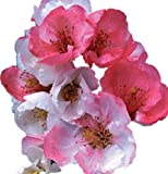 "Toyo Nishiki Flowering Quince - 2 1/2"" potted Chaenomeles japonica 'Toyo-Nishiki' - 3""- 5"" Tall Healthy Shrub/Bush - 3 Pack by Growers Solution"