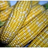 buy Seeds and Things Peaches and Cream Sweet Corn - 50 Seeds now, new 2019-2018 bestseller, review and Photo, best price $1.91