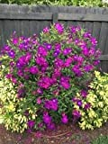 "TIBOUCHINA - Dwarf Blue - 4"" Pot"
