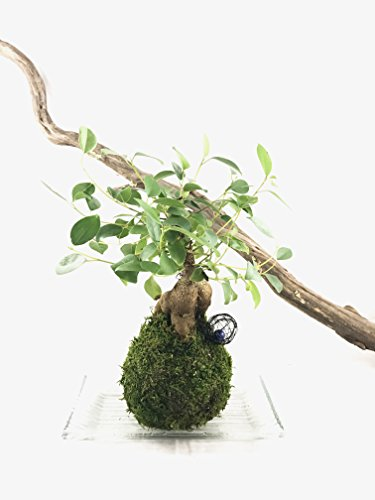 Kokedama - Bonsai Moss ball Ginseng Ficus(Banyan) - seat of the soul tree - Size approx 5 x 5 x 12 inch -