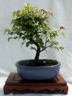 8'' Shohin Trident Maple Bonsai