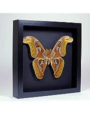 Attacus atlas – Atlasvlinder – Echte opgezette vlinder gemonteerd tussen glas in handgemaakte zwart houten dubbelglas lijst