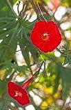 Rare Ipomoea SLOTERI Cardinal Climber Morning Glory Flowering Seed 20 Seeds