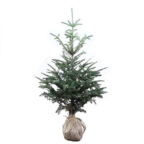 相馬グリーン もみの木 ウラジロモミ 樹高1.0~1.2m前後 (根鉢含まず) クリスマスツリーに B07L9FK4PR  樹高1.0~1.2m前後 (根鉢含まず)