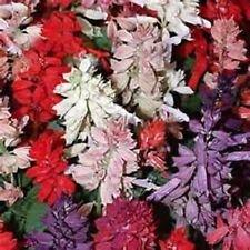 (Salvia Salsa Series Mix 50 Seeds Garden Seeds 2u)
