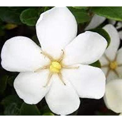 Daisy Gardenia - Live Plant - Full Gallon Pot : Garden & Outdoor