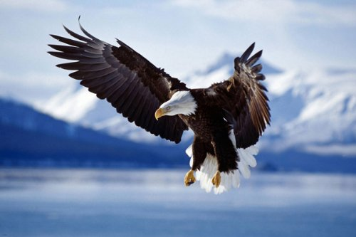 (BALD EAGLE IN FLIGHT ALASKA nature poster MAGESTIC RARE HIGH QUALITY)