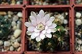 LAMINATED POSTER Succulent Gymnocalycium Anisitsii Cactus Flower Poster Print 24 x 36