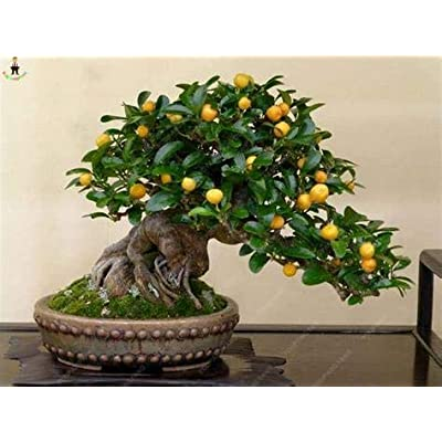 AGROBITS 20Pcs Japanese Rainbow Lemon Bonsai Dwarf Lime Tea Fruit Plants Garden Organic Citrus Limon Tree Semillas de Fruta: Pink: Home & Kitchen