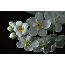 Perennial: FORGET-ME-NOT White 40+ Seeds 'Alpestris White Ball' - Myosotis, White Blooms, Fresh Seed, Very Easy Germination