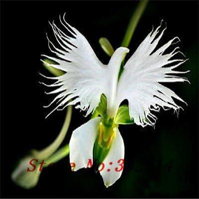 Hot Hot 100 piezas vendidas Semillas Perú la cara del mono Flor de la orquídea Phalaenopsis Semillas de plantas de flor de Bonsai jardín de DIY: Amazon.es: Jardín