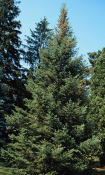 Abies balsamea: Balsam Fir Seeds