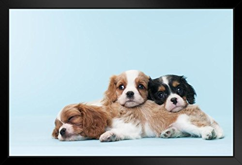Cavalier King Charles Spaniel Puppies Relaxing Photo Art Print Framed Poster 20x14 inch