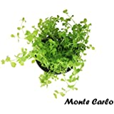 Micranthemum Monte Carlo Potted Live Aquatic Carpet Foreground Plants for Aquarium Freshwater Fish Tank by Greenpro