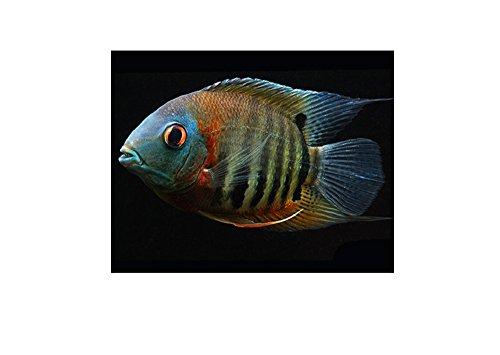 Live Freshwater Aquarium Fish - 2