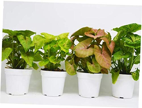 FXI Live Plant 4 Different Syngonium Plants - Arrowhead Plants / 4'' Pot - RK216
