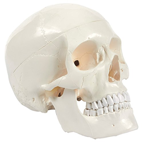 Human Skull Model - Removeable Skull Cap and Articulated Mandible - Anatomical Model | White, 8 x 6.2 x 4.75 Inches