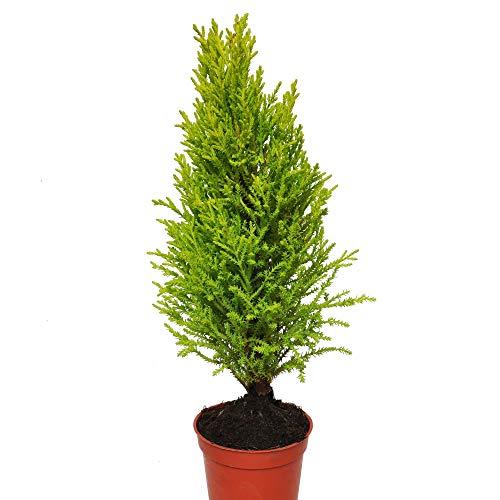 (Cupressus macrocarpa, Lemon Cypress Cone)