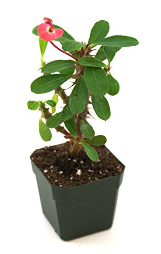 Euphorbia milii 'Dwarf Apache' - Crown of Thorns (Crown Of Thorn Plant)