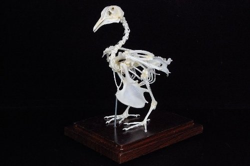 JS Pigeon Dove Skeleton Mounted ()
