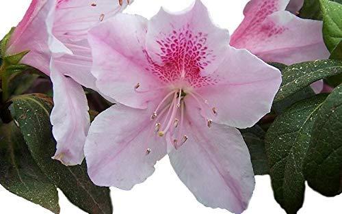 George Tabor Azalea ( southern indica ) - Full Gallon