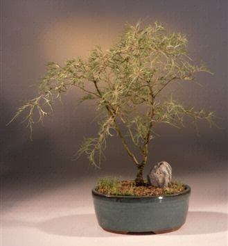 Bonsai Boy's Laceleaf Weeping White Birch Bonsai Tree betula pendula 'trosts dwarf'