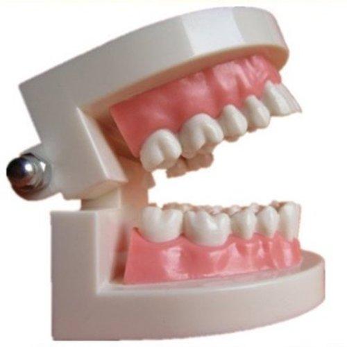 Autek Dental Zahnarzt Zähne Kind Kid Gums Standard-Tooth Teaching Model (Dental-08)