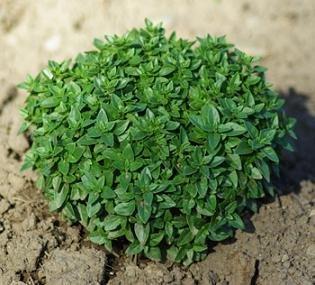 (Basil Dwarf Greek Ocimum minimum 1,000 seeds)