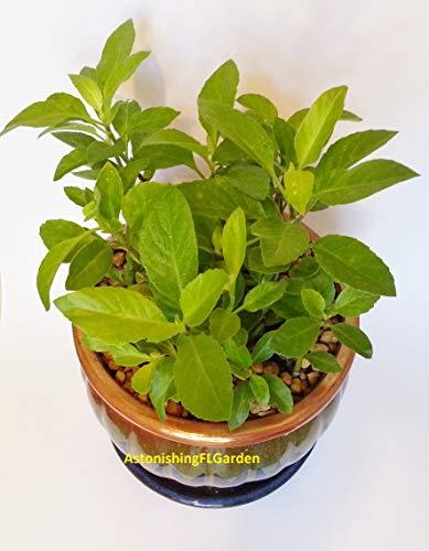 Gynura Procumbens Longevity Spinach Perennial Vegetable 1 Starter Plant with 3 Cuttings per Pot!! from Amazingflgarden