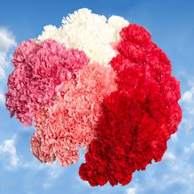 GlobalRose 300 Fresh Cut Carnations- Fresh Flowers Delivery - Perfect for Mother's Day.